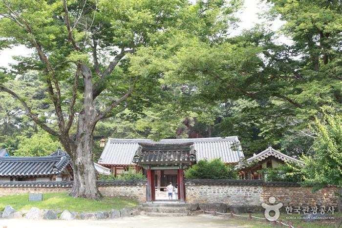 우람한 느티나무가 입구를 지키는 회연서원 - 한국관광공사