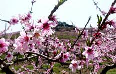 봄날에는 꽃길만 걷자! 왕버들과 복사꽃 드라이브길~ 반곡지